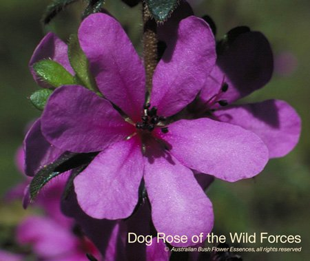 Australské esence jednotlivé Dog Rose of the Wild Forces